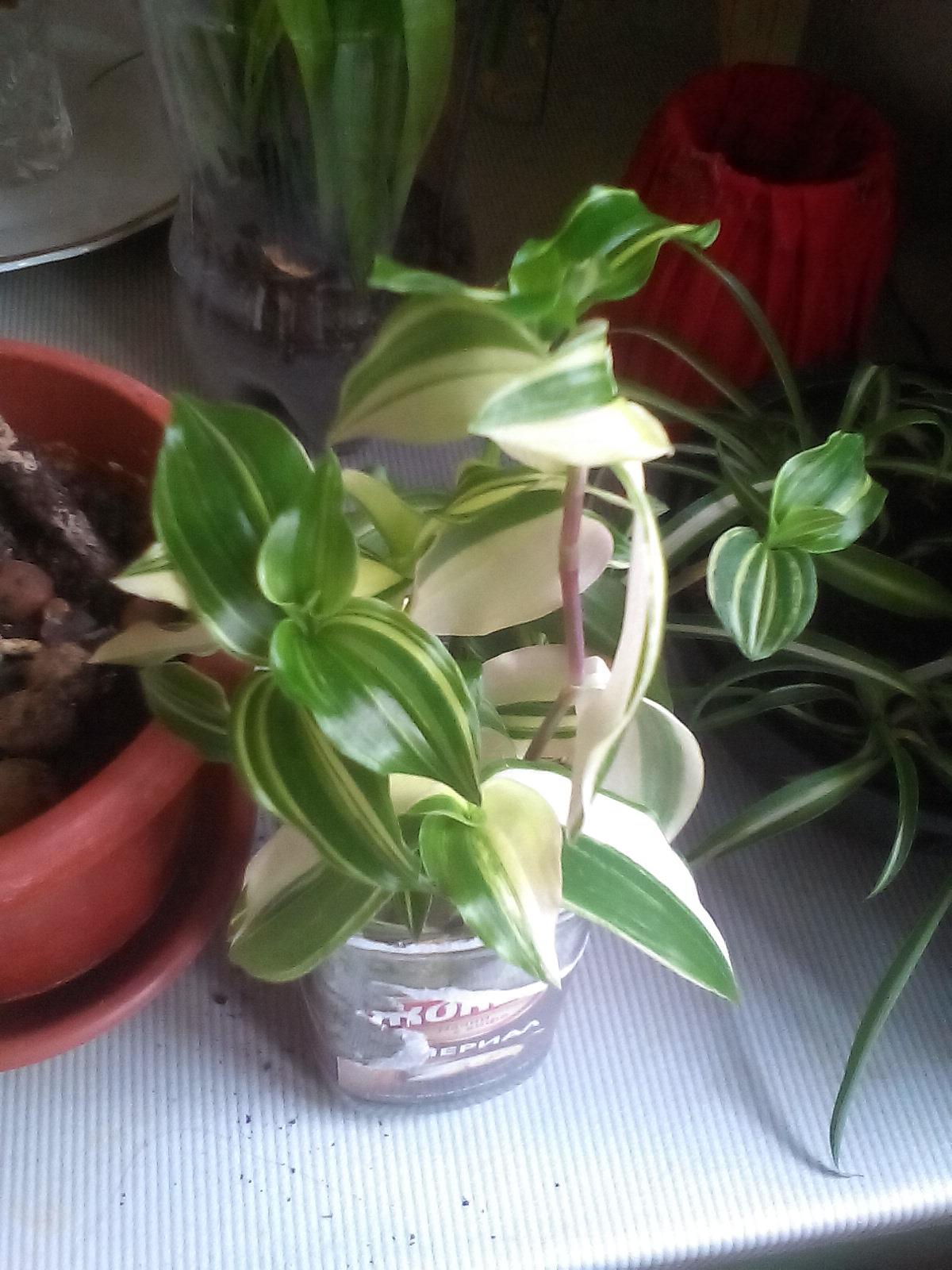 Традесканция variegata