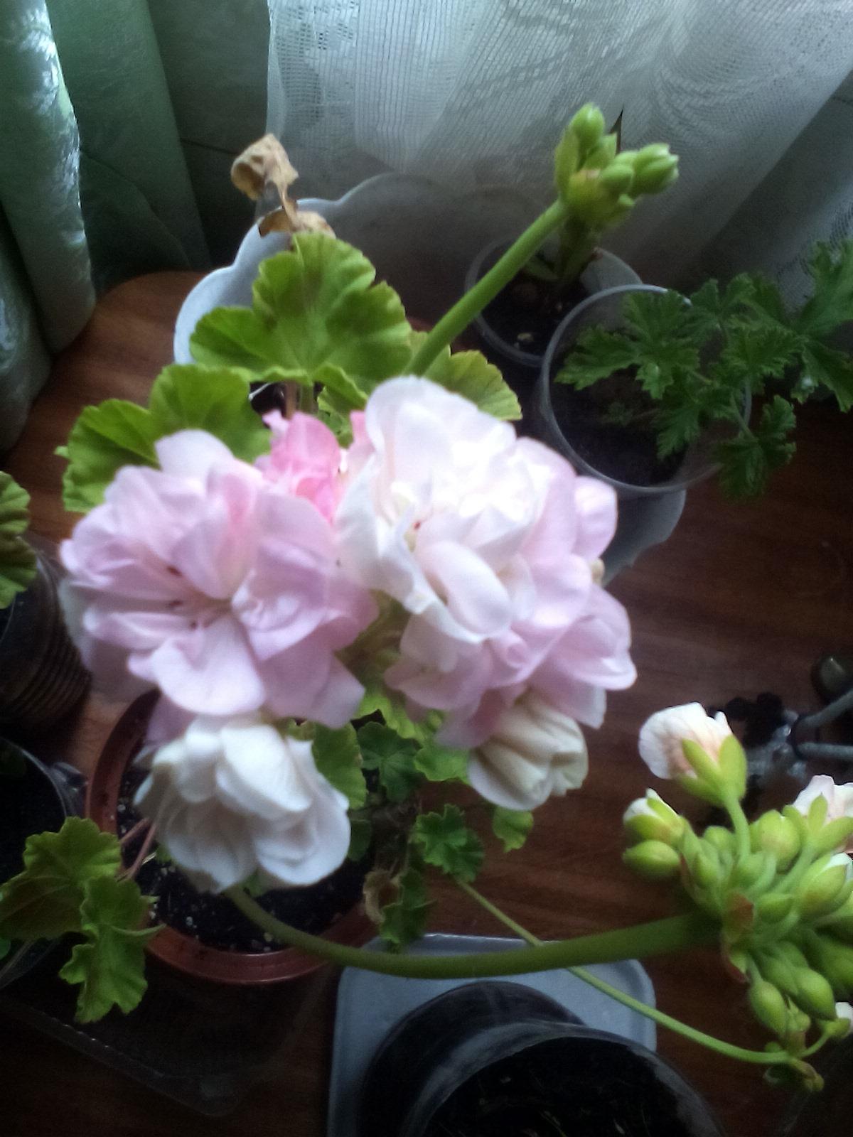 красивоцветущие комнатные растения