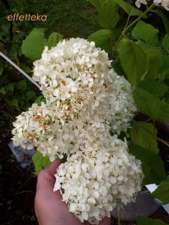 гортензия цветение