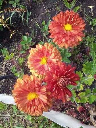 красивоцветущие осенние многолетники