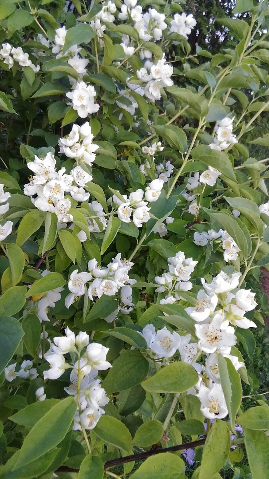 цветущие садовые кустарники