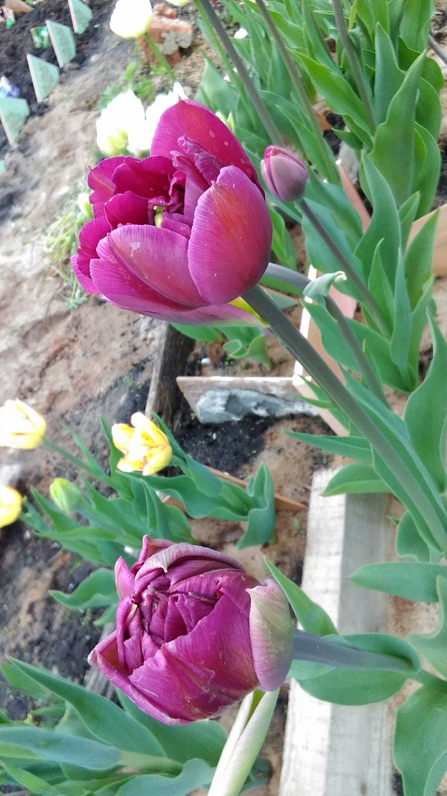 тюльпан пионовидный