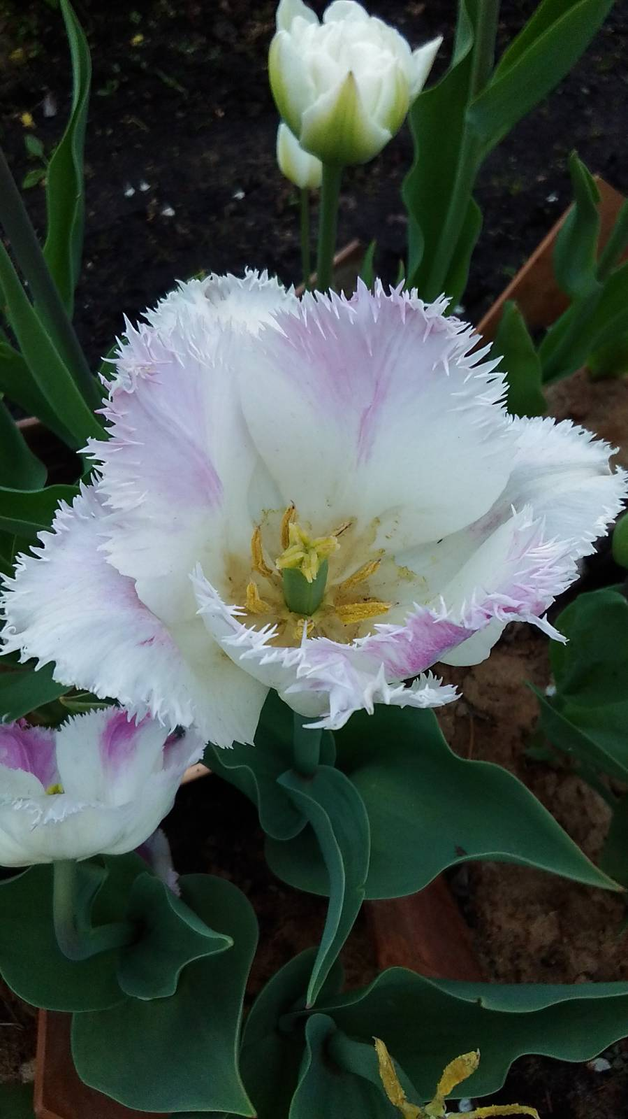 тюльпан бахромчатый