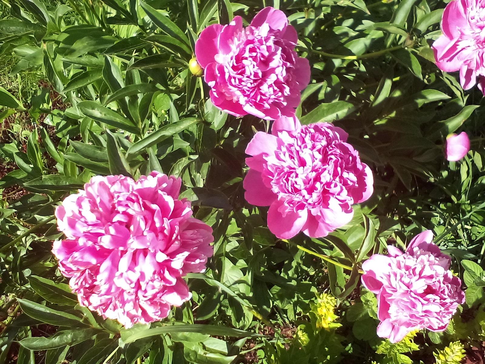 неприхотливые садовые многолетники