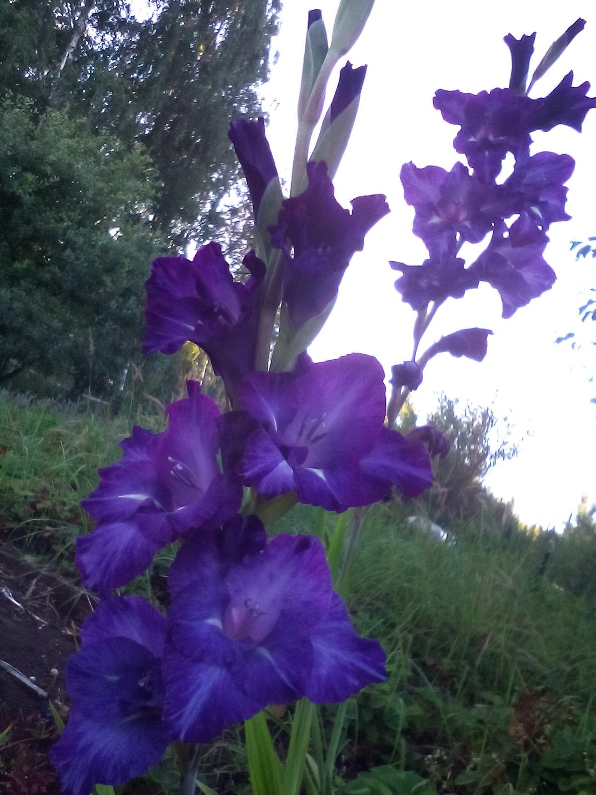 луковичные неприхотливые садовые растения