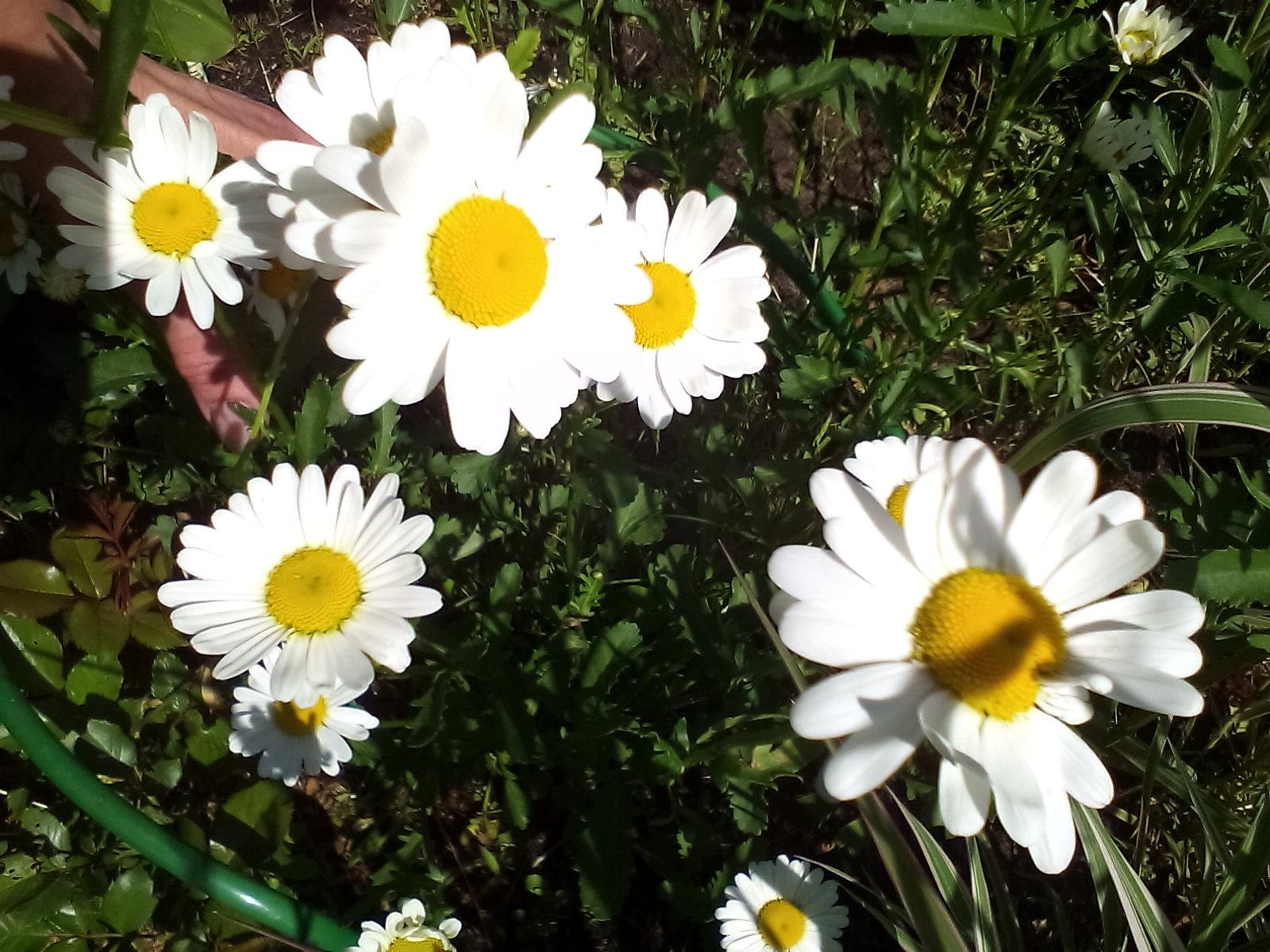 нивяник ромашка белая