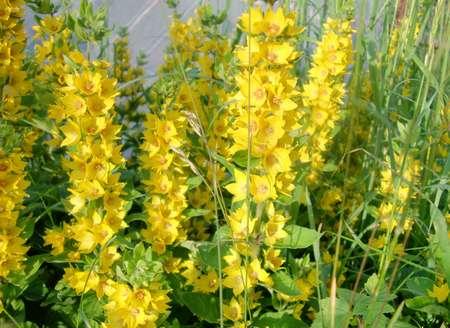 Садовый цветок жёлтый
